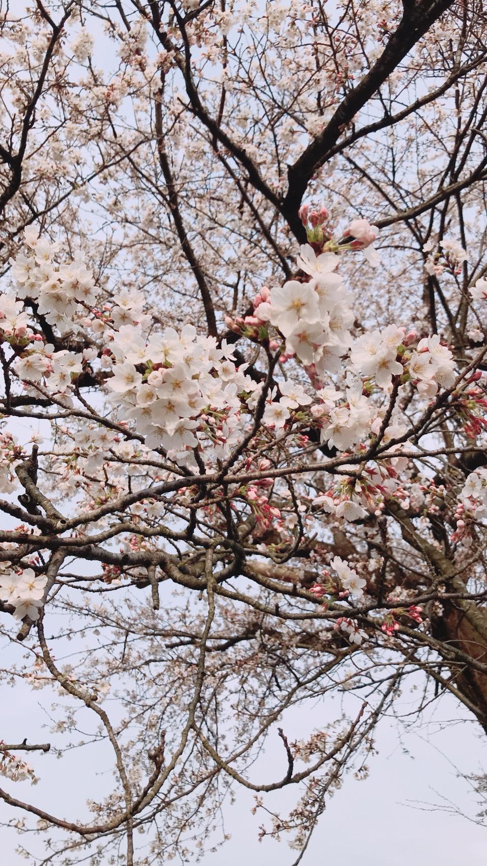 塩の桜7分咲き🌸